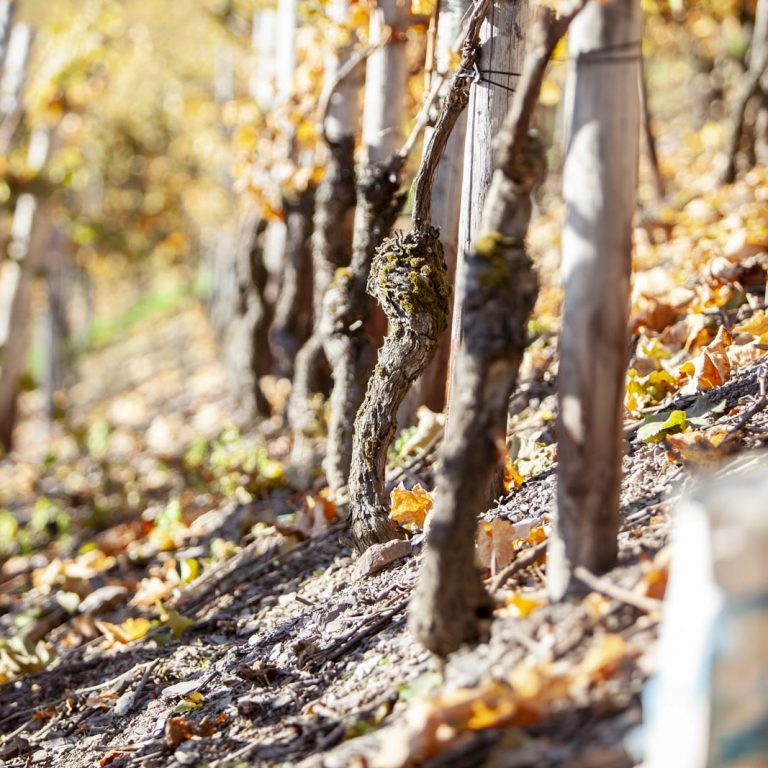 Riesling vines in the vineyards of Weingut Peter Lauer