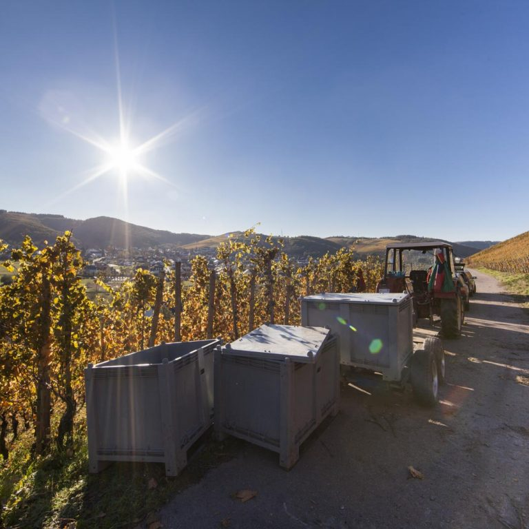 Harvest in the vineyard - Peter Lauer Winery in Ayl