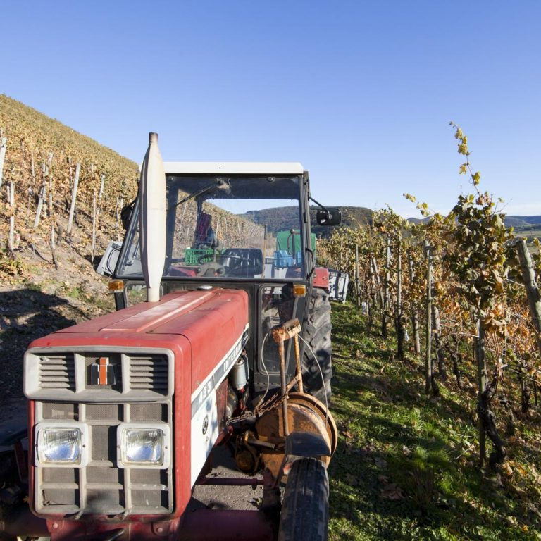 Grape harvest on the Saar - Riesling wines
