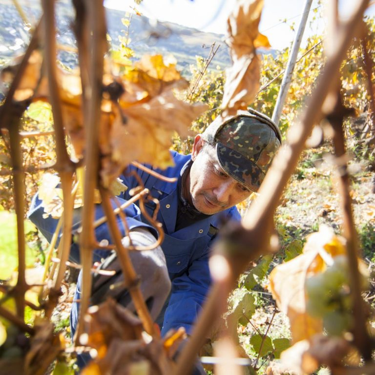 Harvest helpers in the vineyard - Saarriesling