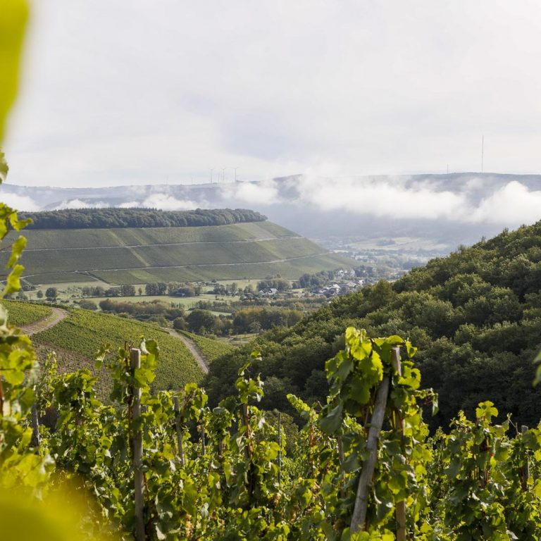 Riesling vines in the best vineyard location on the Saar