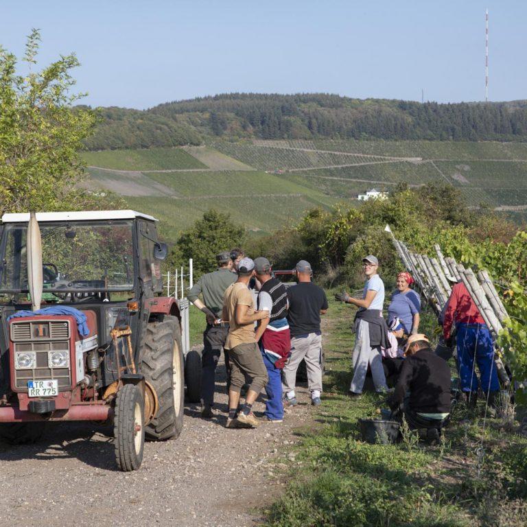 Winzer bei der Weinlese im Weinberg