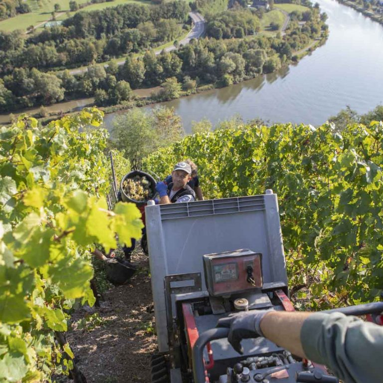 Manual harvest in the vineyard - Riesling vines